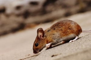 Mice Exterminator, Pest Control in Crouch End, N8. Call Now 020 8166 9746