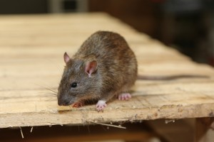Rodent Control, Pest Control in Crouch End, N8. Call Now 020 8166 9746